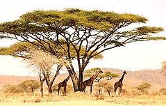 Serengeti_2016_Giraffes_and_Tree_düzenle