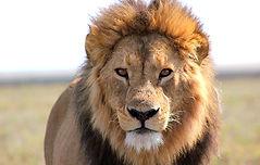 Serengeti_2014_Lion_3_düzenlendi.jpg