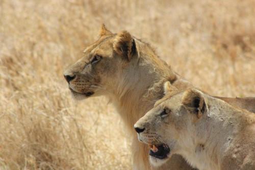 Serengeti 2016_Lioness_1.jpg