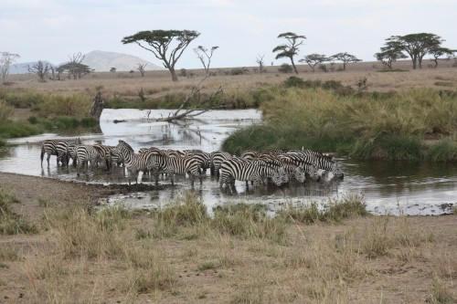 Serengeti_Zebras3.jpg