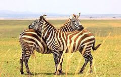 Masai_Mara_August_2017_Zebra_5_düzenlend
