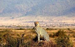 Masai_Mara_2014_Cheetah_düzenlendi.jpg