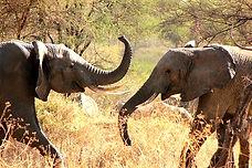 Serengeti_2016_Elephants_Play_4_düzenlen