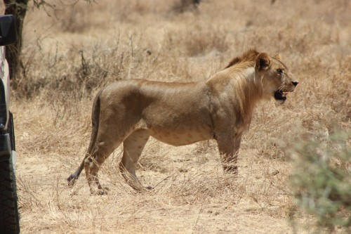 Serengeti 2016_Lioness and Vehicle_2.jpg