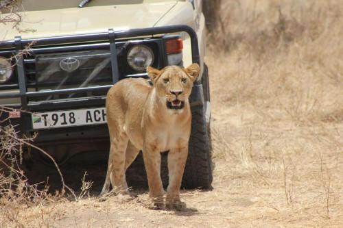 Serengeti 2016_Lioness and Vehicle_1.jpg