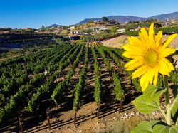 sunflower vineyard 2-2.jpg