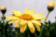 chrysanthellum-300x200.jpg