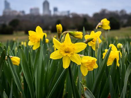 A River of Daffodils at Dorothea Dix Park