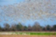 SnowGeese.jpg