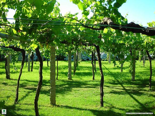 Galician_vineyard_with_wide_vine_spacing