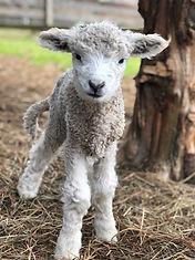 cute lamb.jpg
