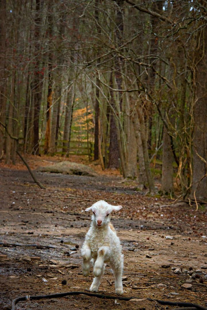 Happy Lamb.jpg