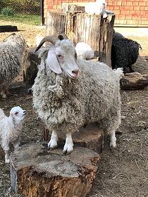Mamma goat and kid.JPG