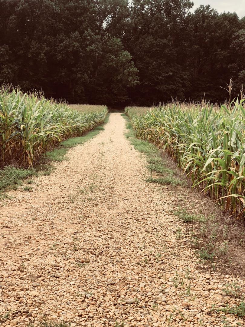 Corn Field.jpg