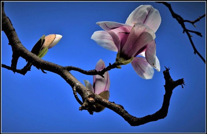 The Beauty of Magnolia