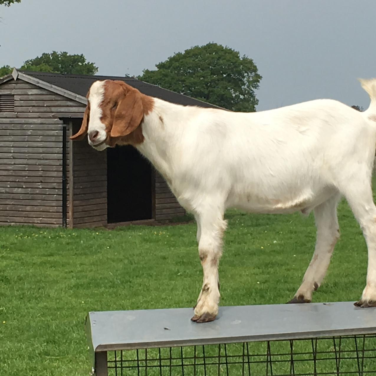 Mischievous goat