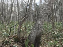 森の危険木処理