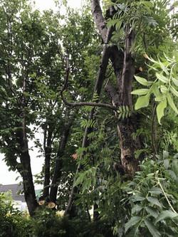 庭木の伐採。枯死ナナカマド