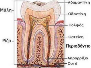 Ανατομία του δοντιού