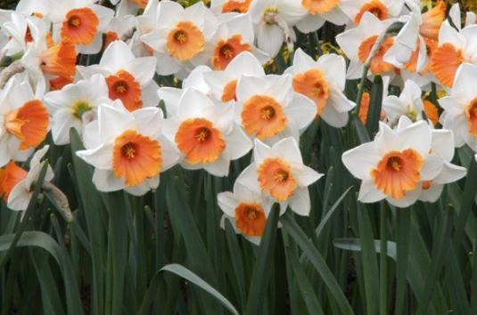 Daffodil - Chromacolour $/bulb