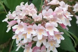 Beauty Bush - Kolkwitzia amabilis