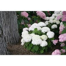 Hydrangea 'Invincibelle Wee White' - Hydrangea arborescens