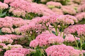 Sedum - Autumn Joy