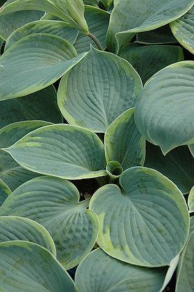 Hosta - Tokudama Flavocircinalis