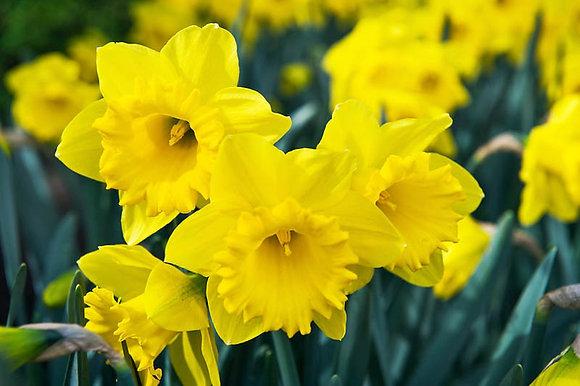 Daffodil - Dutch Master  $/bulb