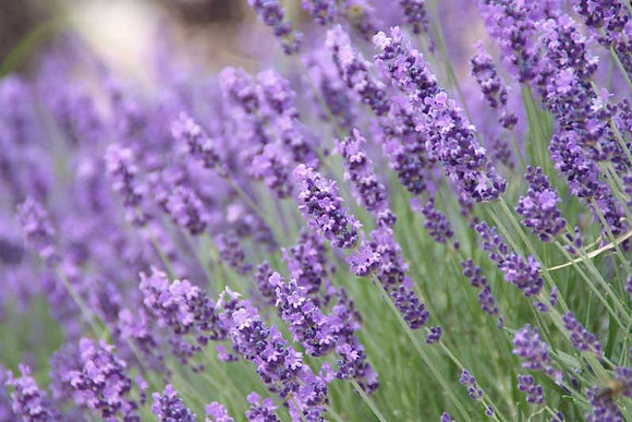 Lavender - English (Munstead)