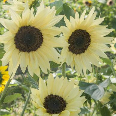 Sunflower Buttercream