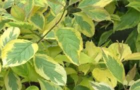 Dogwood - Golden Leaf 'Gouchaultii' - Cornus alba