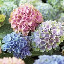 Hydrangea  - Everlasting Revolution 'Hokomarevo' - Hydrangea macrophylla