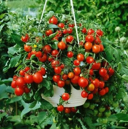 Tomato - Tiny Tim