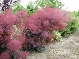 Smokebush 'Royal Purple' - Cotinus coggygria
