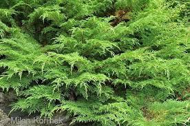 Siberian Cypress - Microbiota decussata