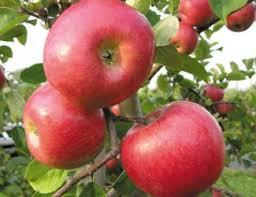 Apple - Freedom