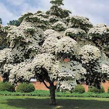 Dogwood - Chinese Flowering - Cornus kousa var. chinensis