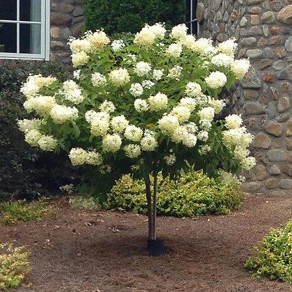 Hydrangea Tree Form - Limelight