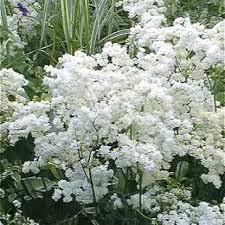 Filipendula White