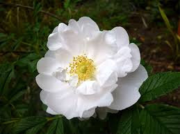 Rosa rugosa ' Alba' - White Rugosa Rose