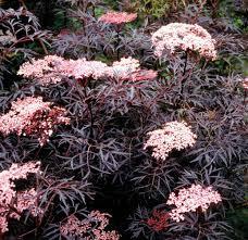 Elderberry - Black Lace 'Eva' - Sambucus nigra