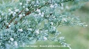 Juniper 'Grey Owl' - Juniperus virginiana