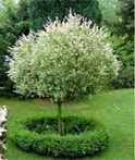 Japanese Willow (standard) 'Hakuro Nishiki' - Salix integra