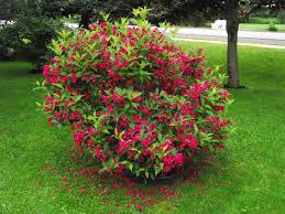 Weigela 'Red Prince' - Weigela florida