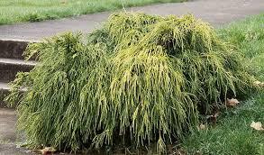 Threadleaf False Cypress - Golden 'Filifera Aurea' - Chamaecyparis pisifera