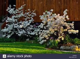 Azalea 'White Lights'
