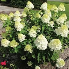 Hydrangea - Little Lime 'Jane' - Hydrangea paniculata