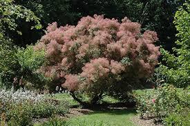 Smoke Bush 'Grace' - Cotinus coggygria