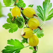 Gooseberry - Hinnomaki Yellow